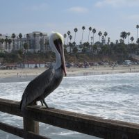 Pelicans of the pier at Oceanside